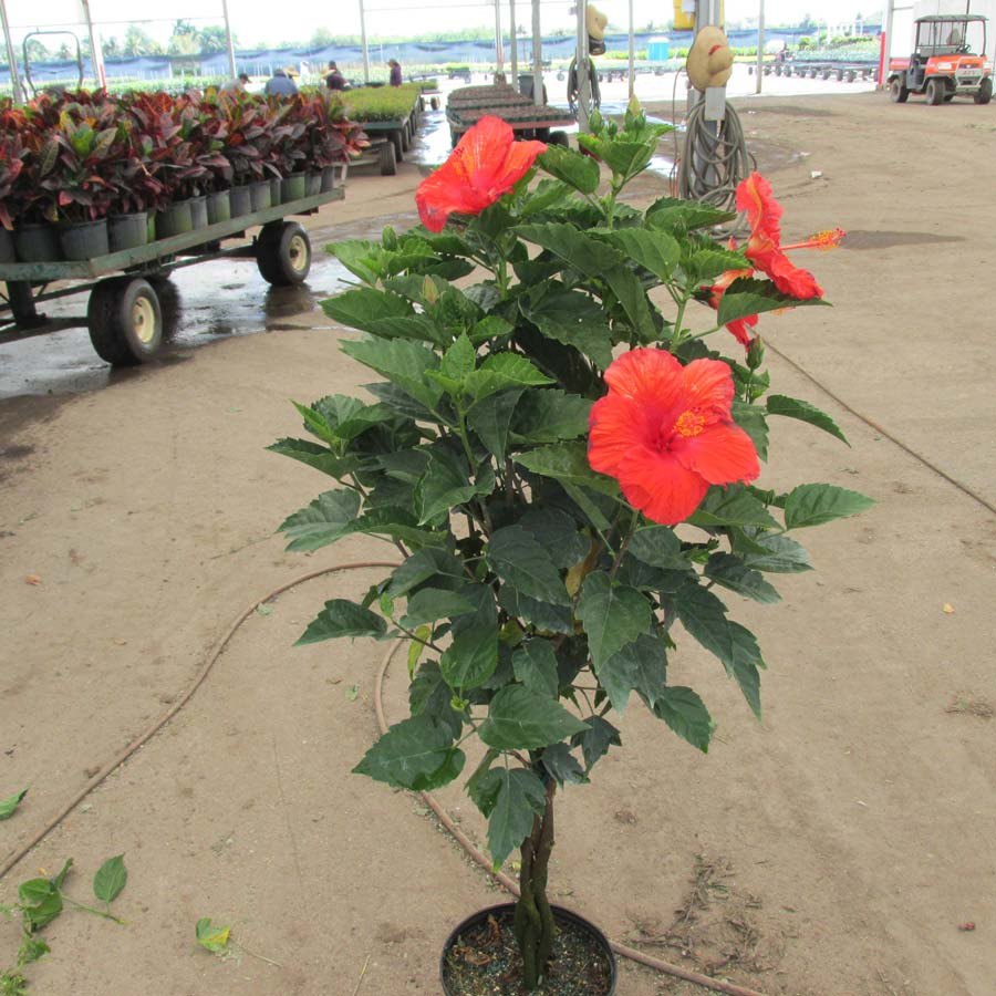 braided hibiscus tree - photo #17