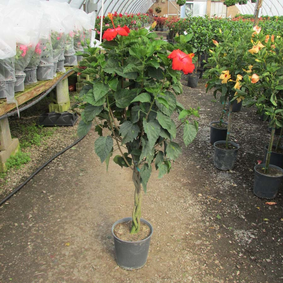 braided hibiscus tree - photo #27