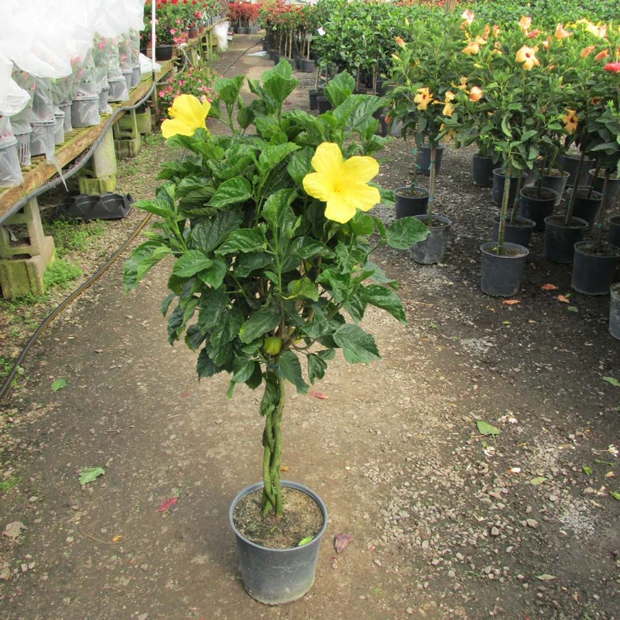 braided hibiscus tree - photo #16